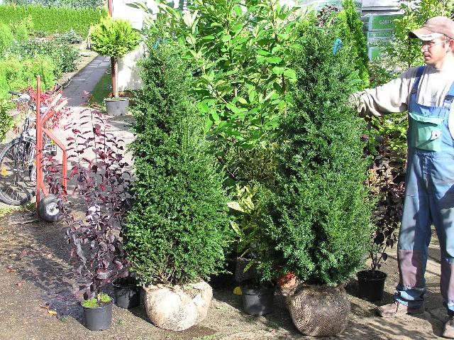 taxus baccata gemeine eibe 4 x verpflanzt mit ballen. Black Bedroom Furniture Sets. Home Design Ideas