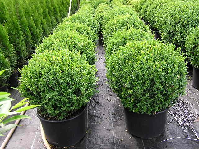 buxus semp arbor kugel buchsbaum baumschule gartenpflanzen taxus eiben buchsbaum. Black Bedroom Furniture Sets. Home Design Ideas