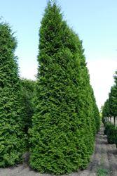 Thuja Lebensbaum Bis 8m Alle Gr