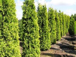 Thuja Lebensbaum 'Yellow Ribbon'