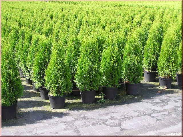 thuja lebensbaum smaragd thuja occidentalis smaragd 80 100 cm in top qualit t bestellen. Black Bedroom Furniture Sets. Home Design Ideas