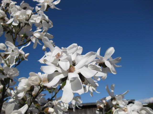 sternmagnolie magnolia stellata 100 125 cm bestellen. Black Bedroom Furniture Sets. Home Design Ideas