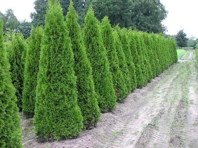 thuja lebensbaum smaragd thuja occidentalis smaragd 200 225 cm kaufen in bester qualit t. Black Bedroom Furniture Sets. Home Design Ideas