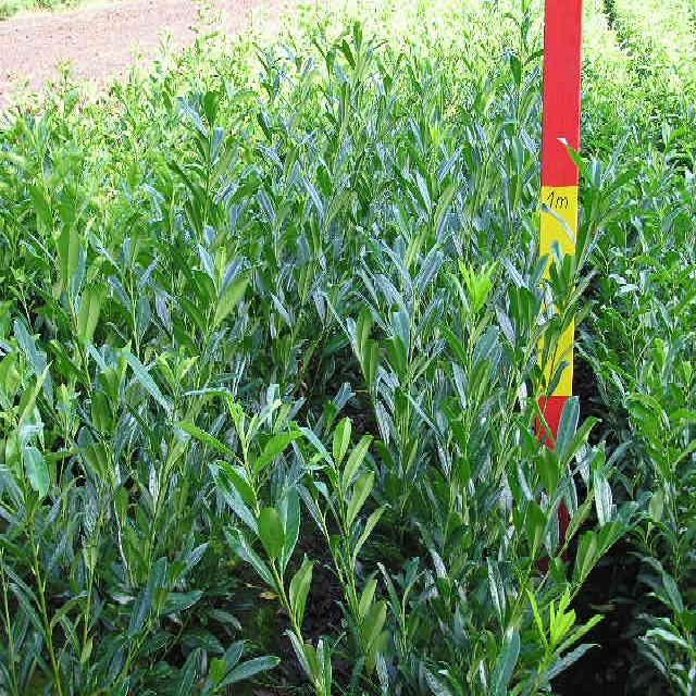 Kirschlorbeer Prunus Caucasica 80//100 cm